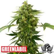 Green Label Seeds Auto Silver Haze